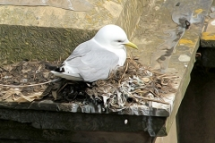 Kittiwake-Premier-Inn-9th-June-19-FI-nesting