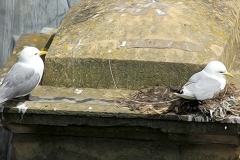 Kittiwake-Premier-Inn-9th-June-19-nesting