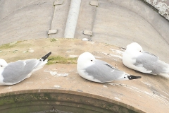 Tyne-Kittiwakes-sleeping-Newcastle-tw