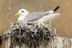 A-Nesting-Tyne-KIttiwake-Guildhall-Newcastle-Quayside