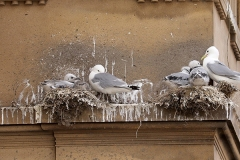 Guidlhall-5th-July-Tyne-Kittiwakes-Newcastle-Quayside-gallery