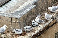 Nesting-birds-Newcastle-Quayside