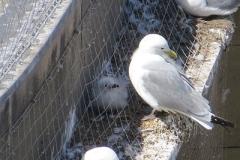 Trapped-Kittiwake-M-P-Frankis-Guildhall-2018-Newcastle-Quayside-anti-bird-netting