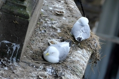 Kittiwakes-Phoenix-House-2019