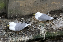 Kittiwakes-nesting-on-Phoenix-House-2019