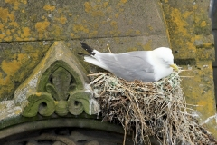 Large-Kittiwake-nest-on-Phoenix-House