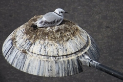 Tyne-Kittiwake-Newcastle-Quayside-light-nest-img1
