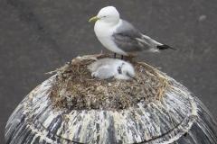 Tyne-Kittiwakes-nest-lighting-Newcastle