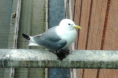 Baltic-Kittiwakes-18-May-19-Imogen-c