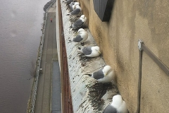 Baltic-Kittiwakes-Andy-Rickeard-7-4-19-1