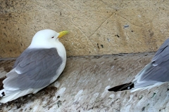 Tyne-Kittiwakes-Baltic-2019