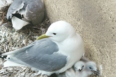 Tyne-Kittiwakes-Diane-Wailes-June-2019-Baltic-chicks-diary