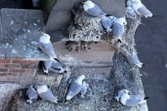 5th-July-Lombard-House-Tyne-Kittiwakes-Newcastle-Quayside-gallery