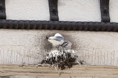 5th-July-Tyne-Kittiwakes-Newcastle-Quayside-art