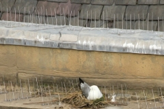 Kittiwake-nesting-amongst-spikes-Newcastle-Quayside