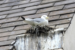 Kittiwake-nesting-on-roof-2-June-19