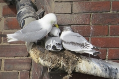 Kittiwakes-nesting-on-pipes-M.P.Frankis