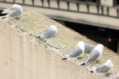 Kittiwakes-resting-April-9-19