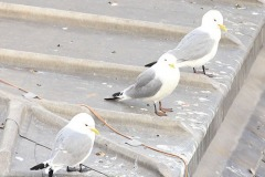 Three-Musketeers-Newcastle-Kittiwakes