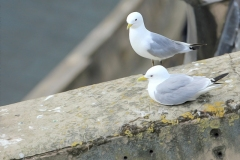 Tyne-Kittiwakes-Newcastle-Quayside-2-Summer-2019