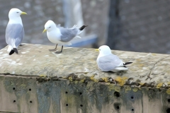 Tyne-Kittiwakes-Newcastle-Quayside-Summer-2019-diary