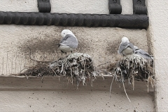 Tyne-Kittiwakes-nesting-on-spikes-12th-July-2020-tw