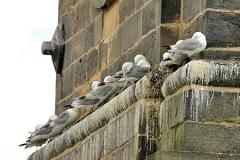 St-Marys-Heritage-Centre-nesting-Kittiwake-FI