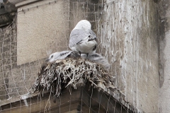 Tyne-Kittiwakes-12th-July-nest-The-Shilling-tw