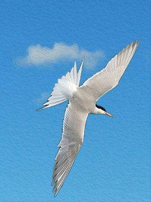 A Common Tern - Newcastle - Quayside