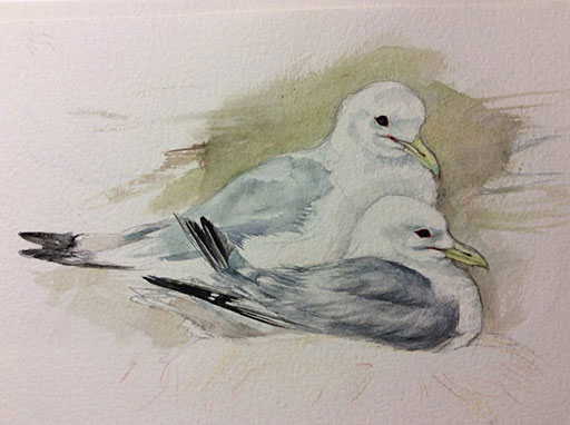 Kittiwakes by Fiona Gomez - Farne Islands