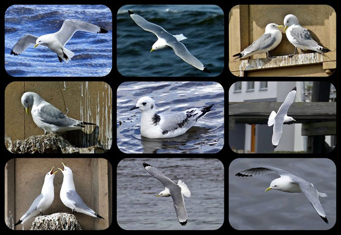 Tyne Kittiwakes by Rev Atkinson - Gateshead