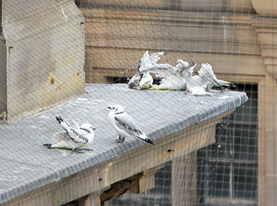 Kittiwakes trapped in anti-bird netting - Newcastle Quayside