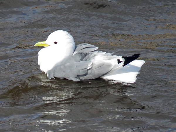 A Kittiwake on the River Tyne along Newcastle and Gateshead Quayside by H_tweeting