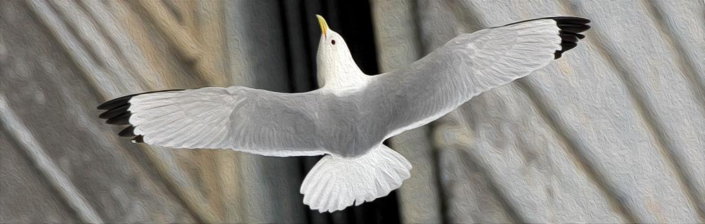 A Tyne Kittiwakes takes to flight