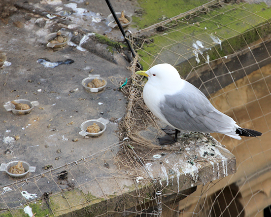 An adult Kittiwake checking out the new fire-gel on Phoenix House