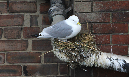 A Tyne Kittiwake nesting on a drainpipe - Newcastle Quayside