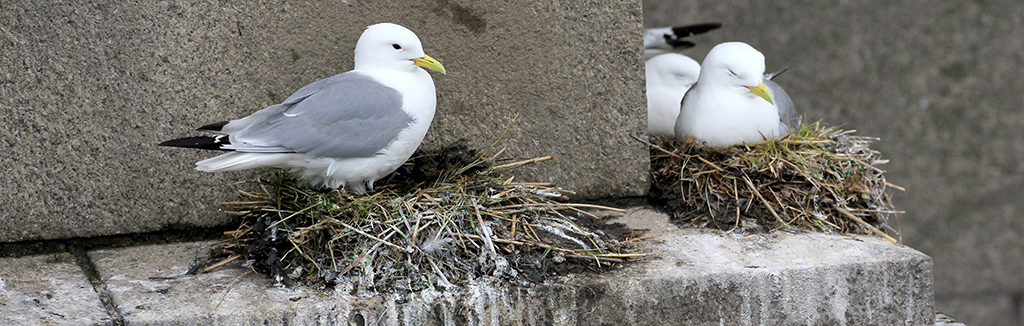 Kittiwakes nesting on the Tyne Bridge