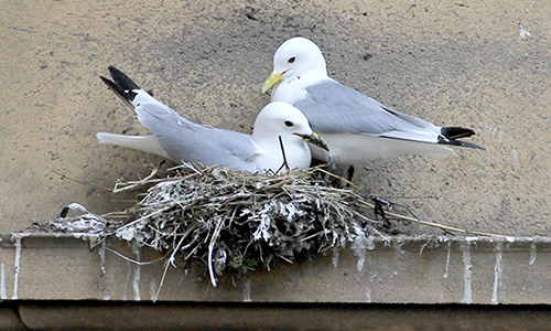 A pair of Tyne Kittiwakes nesting on the Guildhall - Newcastle Quayside