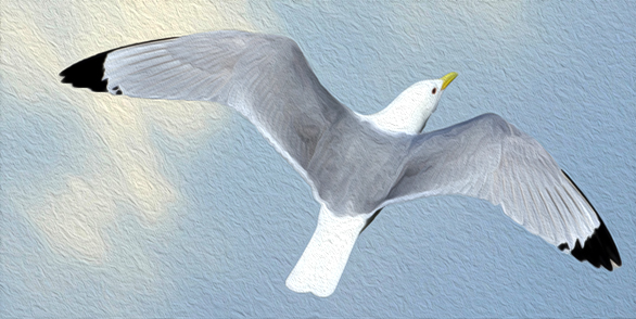 A Tyne Kittiwake in flight