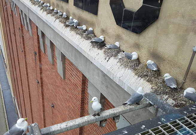 Tyne Kittiwakes on the Baltic by Joe Thirlwell