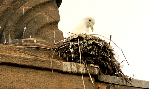The very best Kittiwake nest