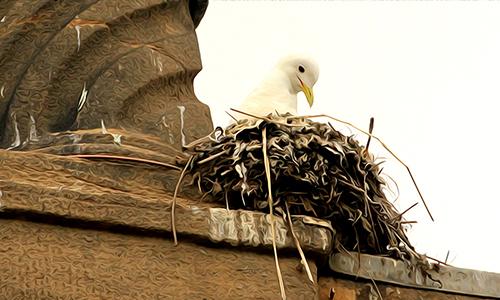 The very best Kittiwake nest
