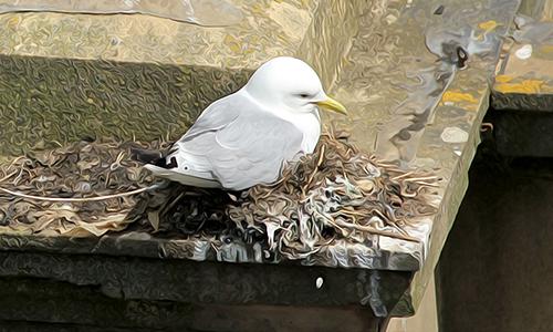 A Tyne Kittiwake nesting on Premier Inn - Newcastle Quayside - River Tyne