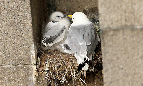 Kittiwake with a chick on Tyne Bridge