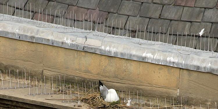 Tyne Kittiwake nesting on spikes - Newcastle Quayside