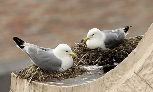 Two Kittiwakes nesting - Newcastle Quayside