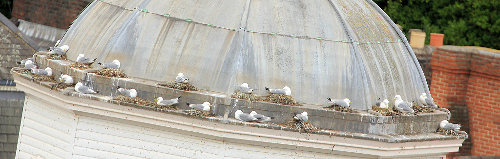 Kittiwakes nesting on the Clocktower - Guildhall