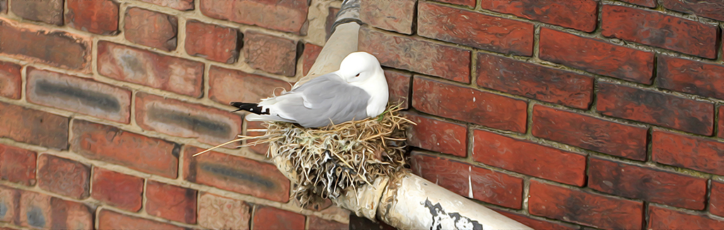 A Kittiwake nesting on a pipe