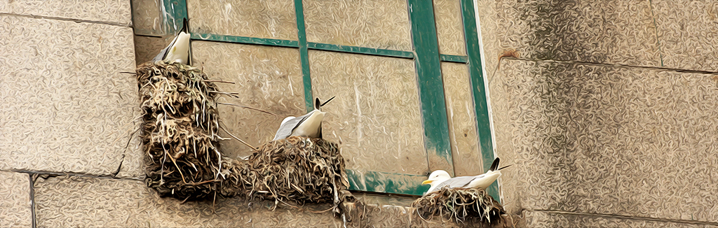 Kittiwakes nesting on the Tyne Bridge - Stepping Stone nests