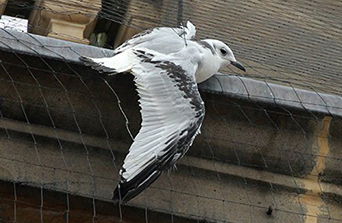 A Kittiwake trapped in anti-bird netting on Newcastle Quayside